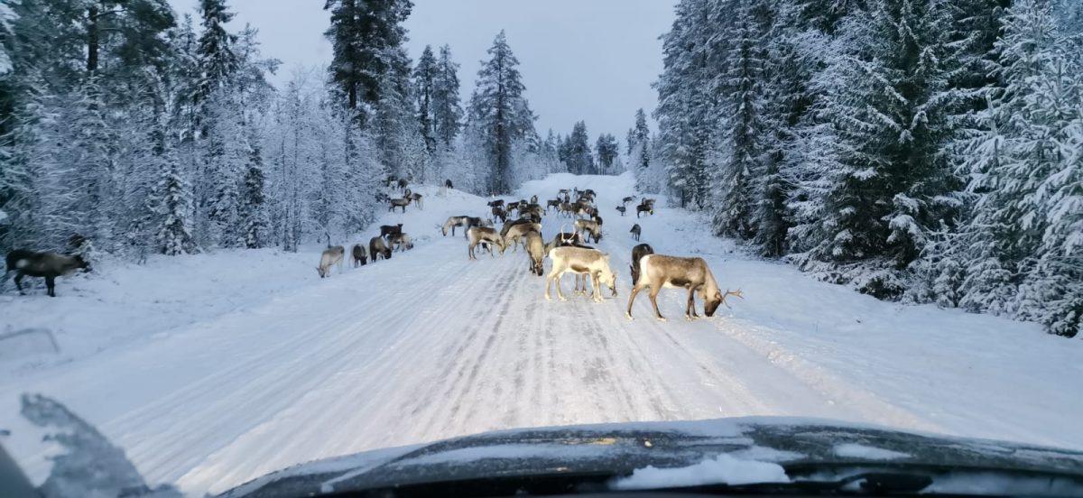 reindeer Peebles