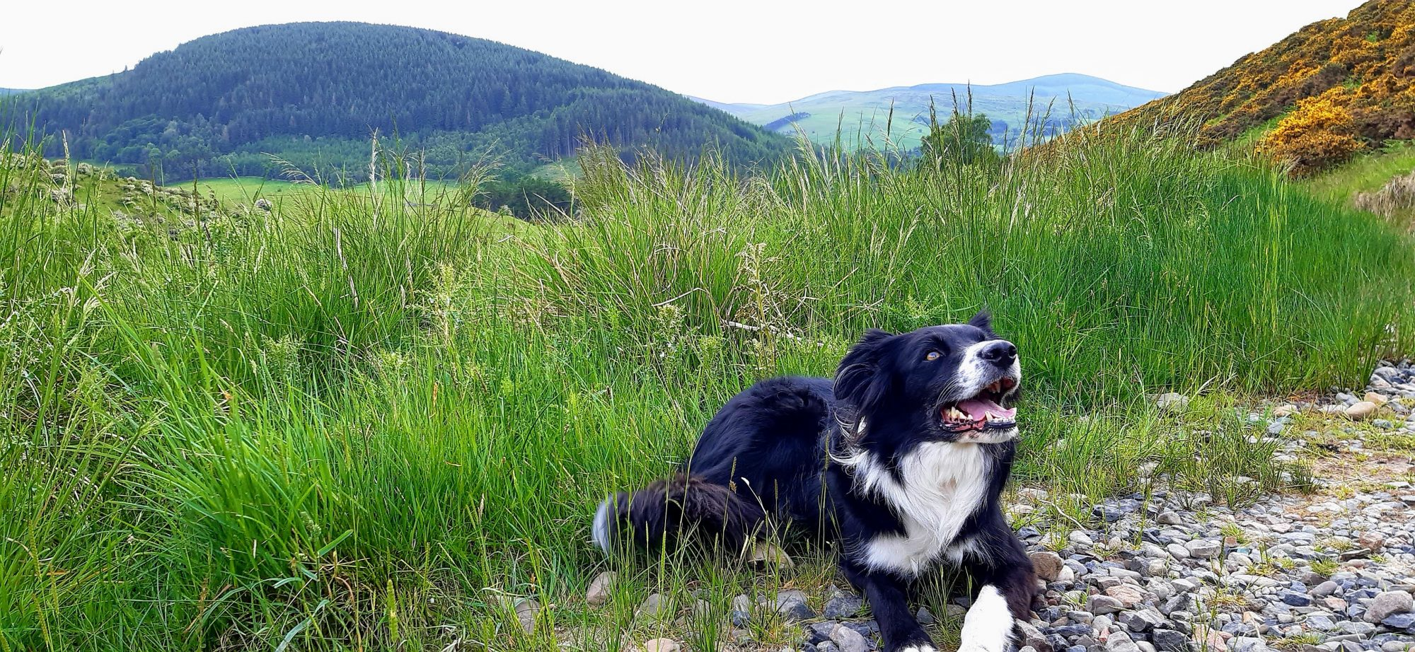 Border Collie in the Borders
