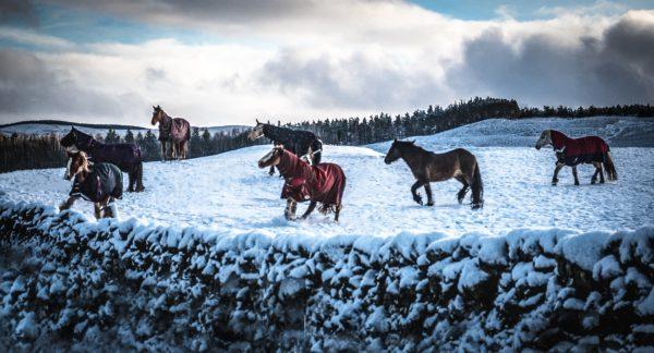 Cademuir ponies